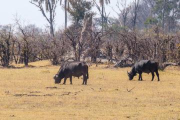 2.9.2019 - Kayak Tag 3, Morning Walk - African Buffalo