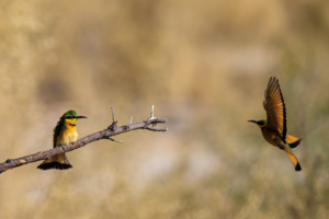 2.9.2019 - Kayak Tag 3 - Little Bee-eater