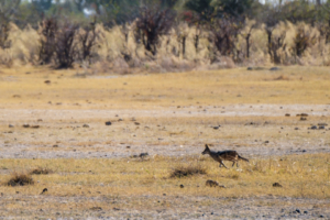 1.9.2019 - Kayak Tag 2, Morning Walk - Blacked-backed Jackal (Schabrackenschakal)