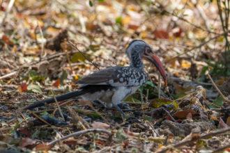 6.9.2019 - Moremi, Picknick in Mokutshomo - Red-billed Hornbill