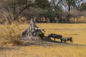 6.9.2019 - Moremi, Black Pools - Warthogs (Warzenschweine)