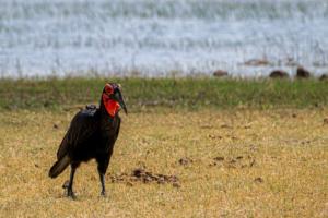 7.9.2019 - Moremi, Bodomatau Lagoon - Ground Hornbill