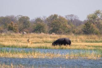 7.9.2019 - Moremi, Bodomatau Lagoon - Hippo und Red Lechwe
