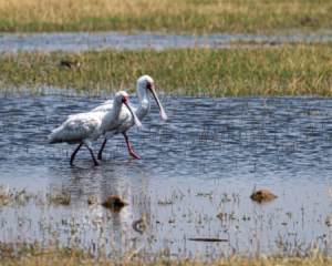 7.9.2019 - Moremi, Bodomatau Lagoon - African Spoonbill