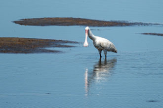 8.9.2019 - Moremi Hippo Pool - African Spoonbill
