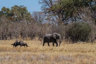 8.9.2019 - Moremi Sexugu Plain - Gnus und Elefant