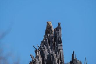 9.9.2019 - Chobe Marsh Road - Tree Squirrel