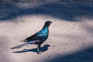 9.9.2019 - Savuti Camp, #1 - Burchell's Starling