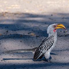 9.9.2019 - Savuti Camp, #1 - Yellow-billed Hornbill
