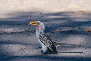 9.9.2019 - Savuti Camp, #1 - Yellow-billed Hornbill