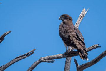 10.9.2019 - Savuti-Linyanti direct Road - Black-chested Snake Eagle