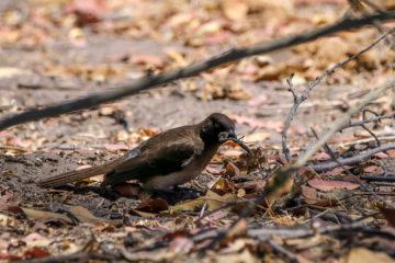 10.9.2019 - Linyanti Camp, #3 - Southern Black Flycatcher mit Heuschrecke :-)