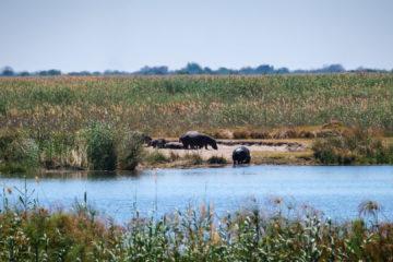 10.9.2019 - Linyanti Camp, #3 - Hippos auf der anderen Flussseite