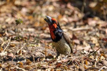 10.9.2019 - Linyanti Camp, #3 - Black-collared Barbet