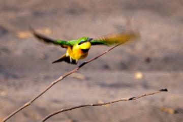 11.9.2019 - Linyanti Camp, #3 - Little Bee-eater