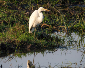 11.9.2019 - Linyanti Game Drive - Little Egret