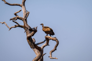 12.9.2019 - Chobe Riverfront - White-backed Vulture