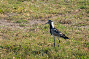 13.9.2019 - Chobe Riverfront - Blacksmith Lapwing