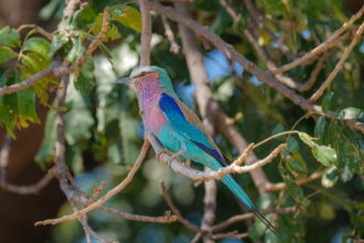 13.9.2019 - Chobe Riverfront - Lilac-breasted Roller