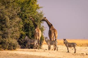 13.9.2019 - Chobe Riverfront - Giraffen und Zebras