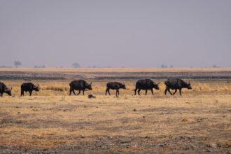 13.9.2019 - Chobe Riverfront - Büffelherde