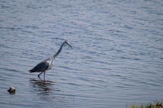 13.9.2019 - Chobe Riverfront - Juvenile Grey Heron