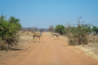 13.9.2019 - Chobe Riverfront - Kudu, Roadblock