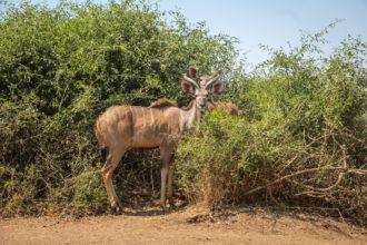 13.9.2019 - Chobe Route 17 - Kudu
