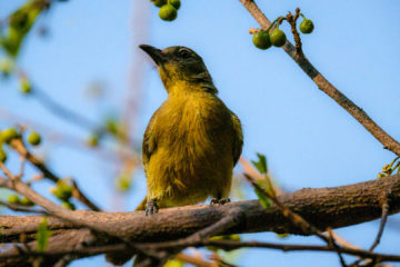 13.9.2019 - Caprivi Houseboat Safari Lodge - Yellow-bellied Greenbul