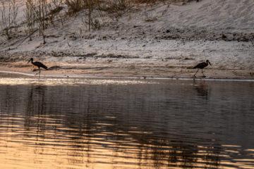 14.9.2019 - Sambesi, Sunset Boat Tour - Open-billed Stork