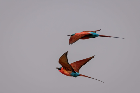 15.9.2019 - Carmine Bee-eater Colony