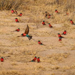 Afrika 2019 – Carmine Bee-eaters
