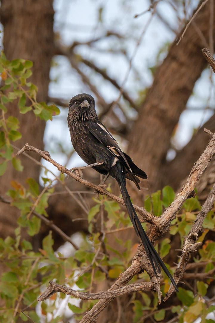 15.9.2019 - Nkasa Rupara NP - Magpie Shrike