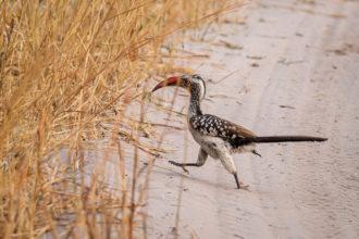 15.9.2019 - Nkasa Rupara NP - Red-billed Hornbill