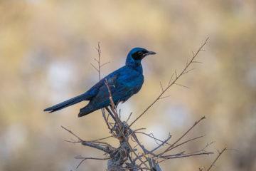 17.9.2019 - Buffalo Core Area - Burchell's Starling