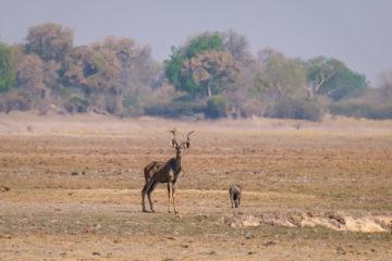 17.9.2019 - Buffalo Core Area - Kudu, Warthog
