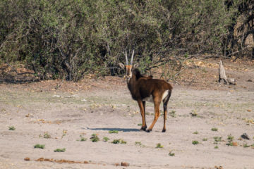 17.9.2019 - Buffalo Core Area - Sable Antelope