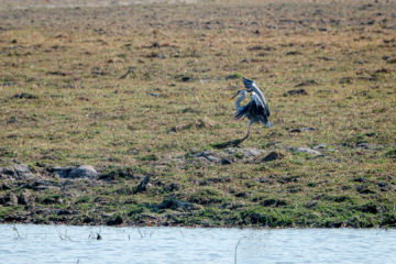17.9.2019 - Buffalo Core Area - Grey Heron