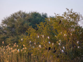 18.9.2019 - RiverDance, Sunrise Boat Tour - African Darters, Cattle Egrets, Reed Cormorants
