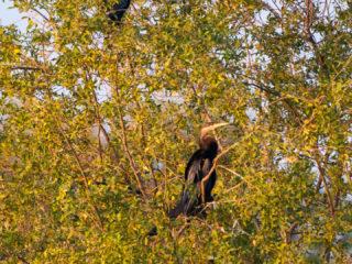 18.9.2019 - RiverDance, Sunrise Boat Tour - African Darters, Cattle Egrets