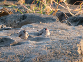 18.9.2019 - RiverDance, Sunrise Boat Tour - Rock Pratincole