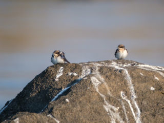 18.9.2019 - RiverDance, Sunrise Boat Tour - Wire-tailed Swallow