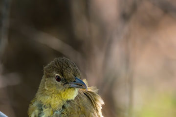 18.9.2019 - RiverDance, Site #1 - Yellow-bellied Greenbul