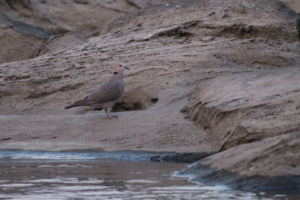 18.9.2019 - RiverDance, Kavango - African Mourning Dove