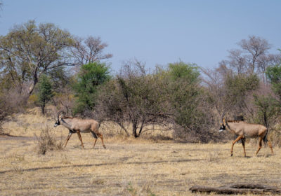 19.9.2019 - Mahango Core Area - Roan Antelope