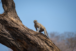 19.9.2019 - Mahango Core Area - Vervet Monkey
