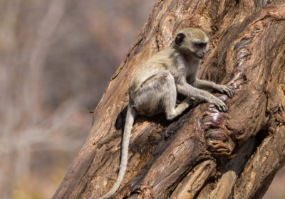19.9.2019 - Mahango Core Area - Vervet Monkeys