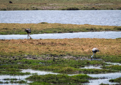 19.9.2019 - Mahango Core Area - Wattled Crane