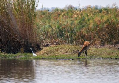 19.9.2019 - Mahango Core Area - Little Egret, Bushbuck, Krokodil