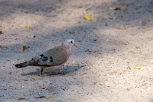 19.9.2019 - Drotsky's Camp, #11 - Emerald-spotted Wood Dove